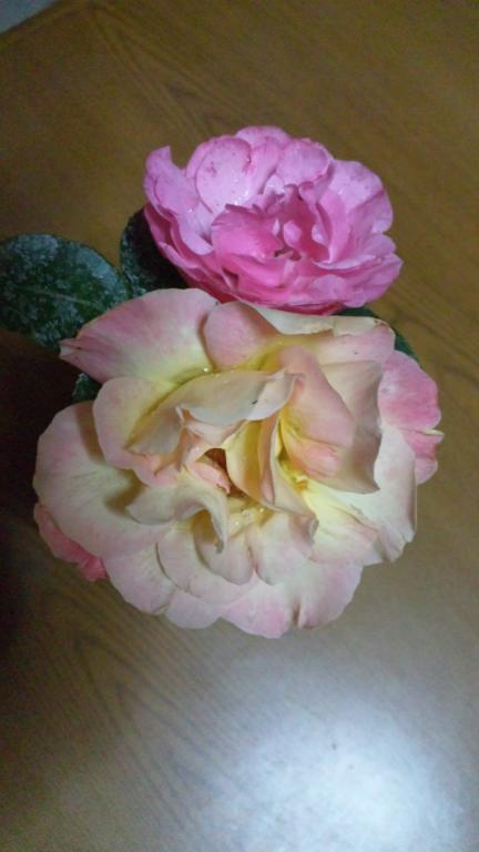 ピース レオナルドダビンチ 2011春バラ満開
