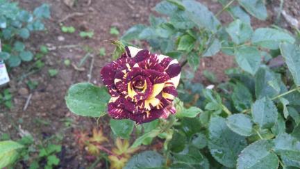アブラカタブラ 2011春バラ満開