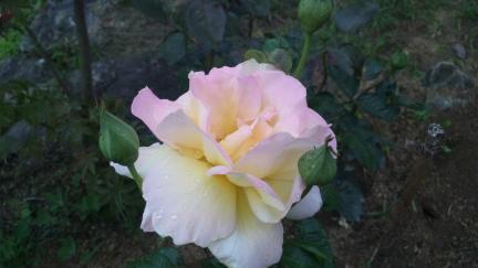 ピース 2011春バラ満開