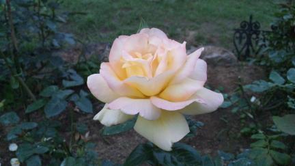 ピース バラの開花