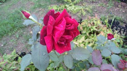 パパメイアン バラの開花