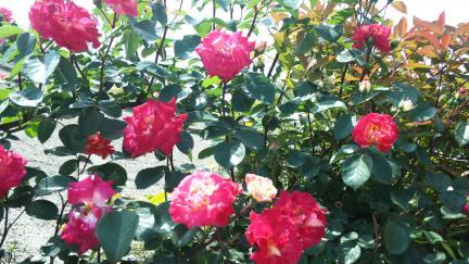 バラの開花 満開