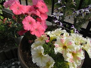 お庭のお花です。