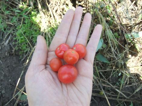 奇跡のトマト 新