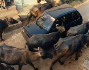 野牛に囲まれる車
