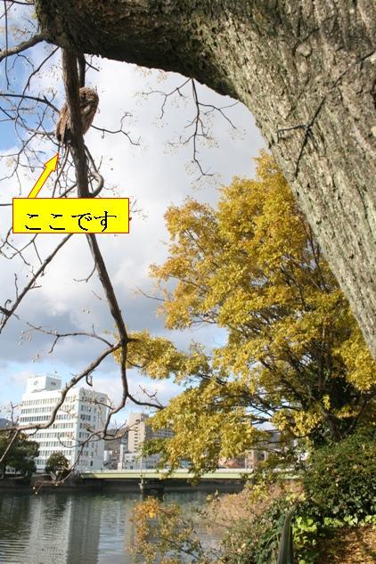 IMG_8479 天満川のフクロウ(ここです) W