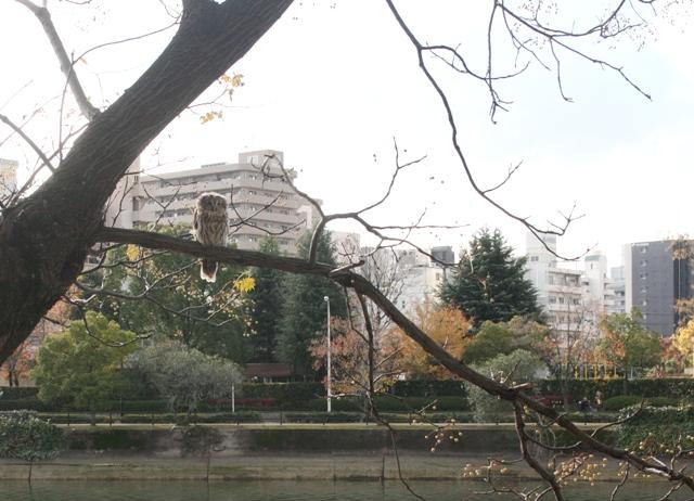 IMG_8464 天満川でフクロウ W