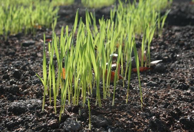 IMG_8529 市役所の麦の芽 W