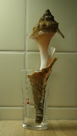 IMG_9470 テングニシの殻 w