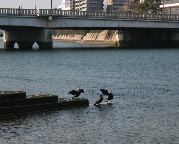 IMG_9522 太田川の鵜 W
