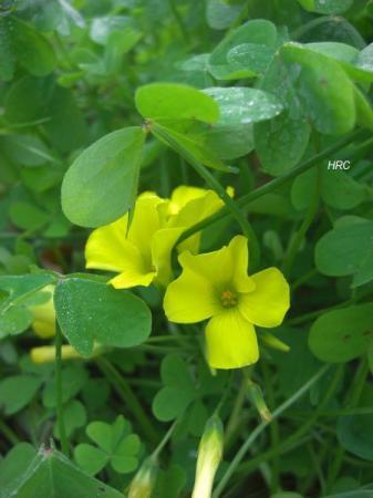 黄色い花②