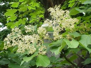 アオギリ 花