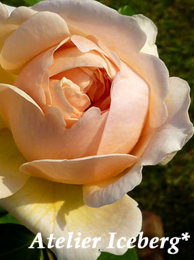 rose_11_35.jpg