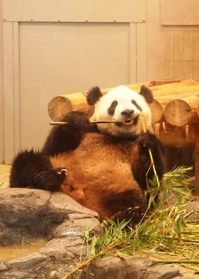 panda ♂