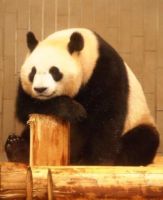panda ♀