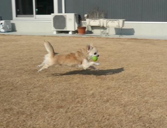 庭に出すと、まずはボールに向かって一直線のチワ