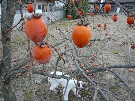 甘い柿なら、鳥が食べちゃってもう無いよね