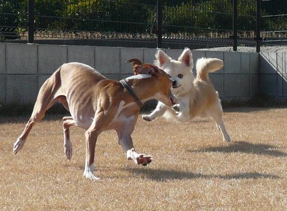 ディオは遊びたいのか ボールが欲しいのか、イマイチよくわからない。。