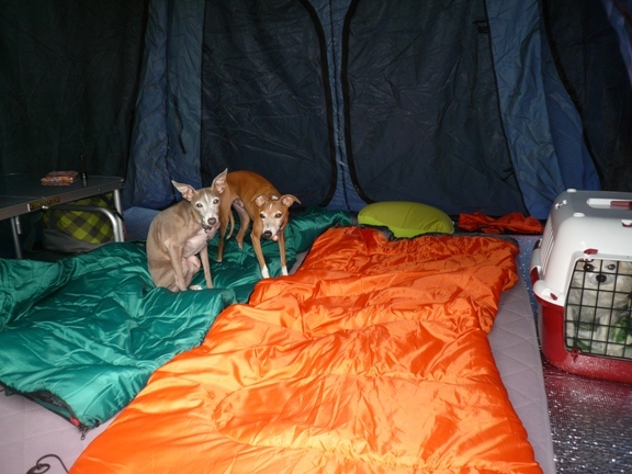 まだ寝たりなさそうなT&D チワはどこへ行くにもケージ持参で寝て貰ってます