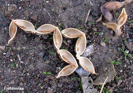 地面に落ちているナンキンハゼの殻(果皮)
