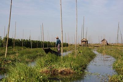 インレー湖の浮畑(トマトの収穫後)