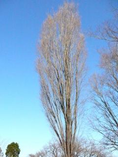 きれぎれの風採 「ムサシノケヤキ01」