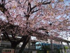 百舌鳥駅桜1