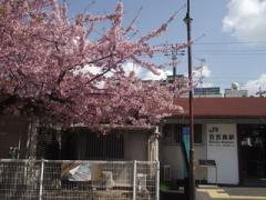 百舌鳥駅桜2