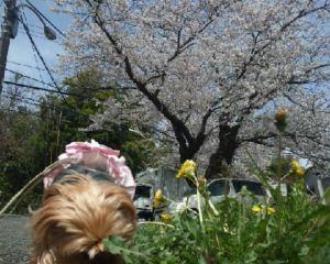 ナナと桜1