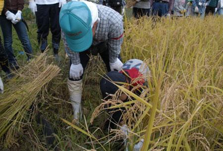 2009稲刈り2