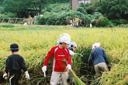 2008稲刈2