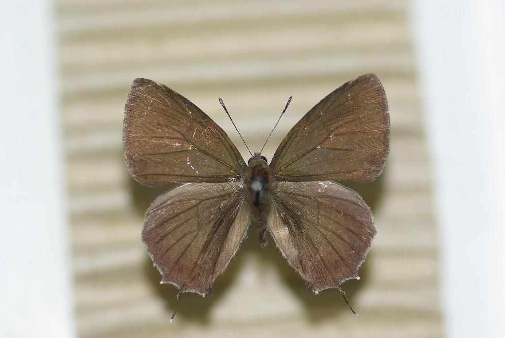 クロミドリ 表翅