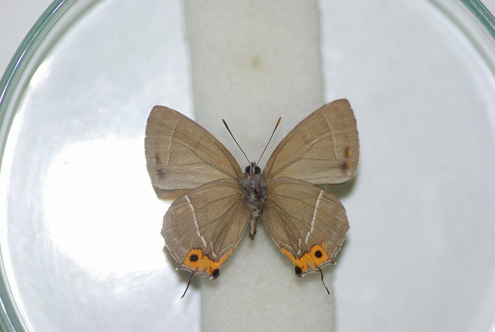 クロミドリ 裏翅