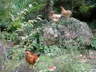 玄関先の鶏