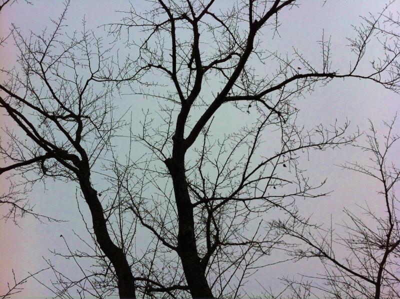 240116 桜の木1