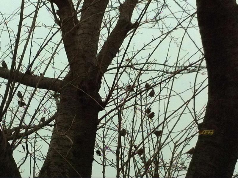 240116 桜の木3