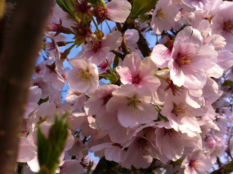 20120416桜