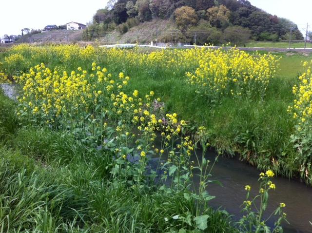 20120428菜の花