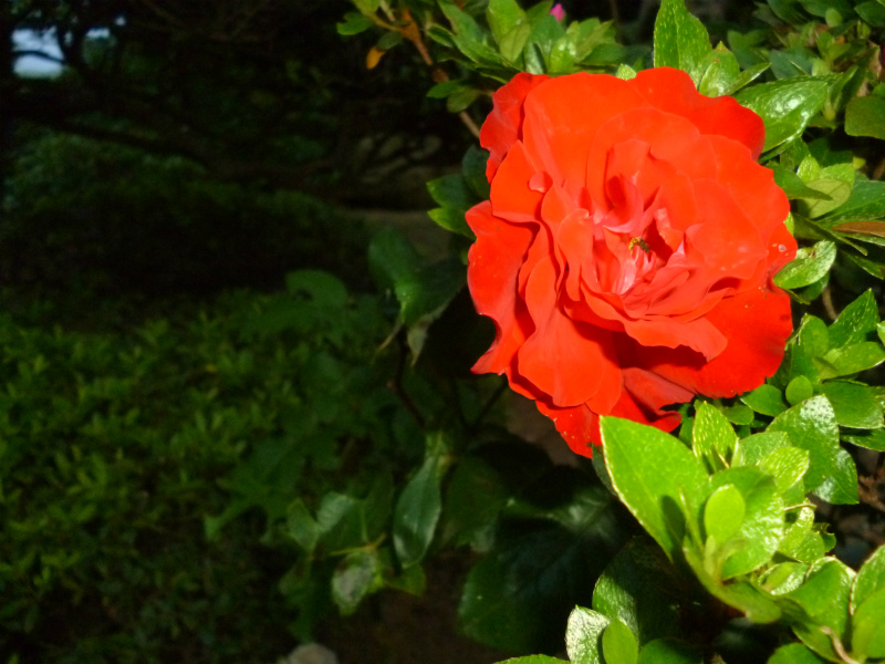 20120606薔薇2