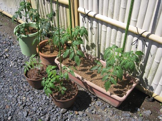 トマト鉢植え