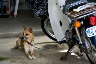 スーパーカブと犬