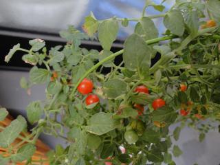 トマト2011.6.22