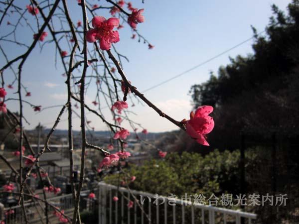 梅林寺梅2012_327_1