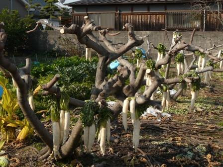 木に干した大根