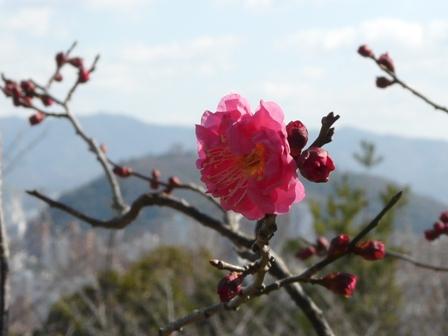 松山総合公園 寒紅梅 4