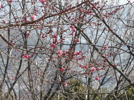 松山総合公園 寒紅梅 1