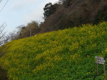 双海 菜の花 1