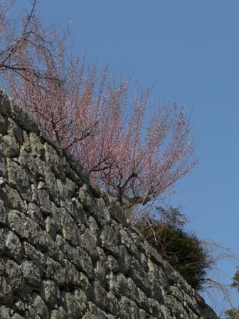 松山城と梅 1
