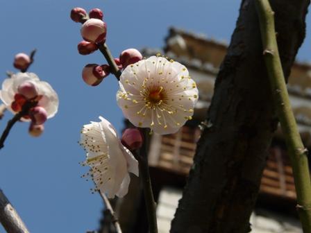 松山城と梅 4