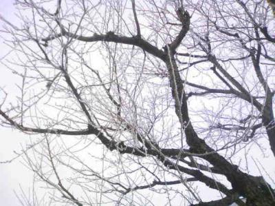 凍った枝2